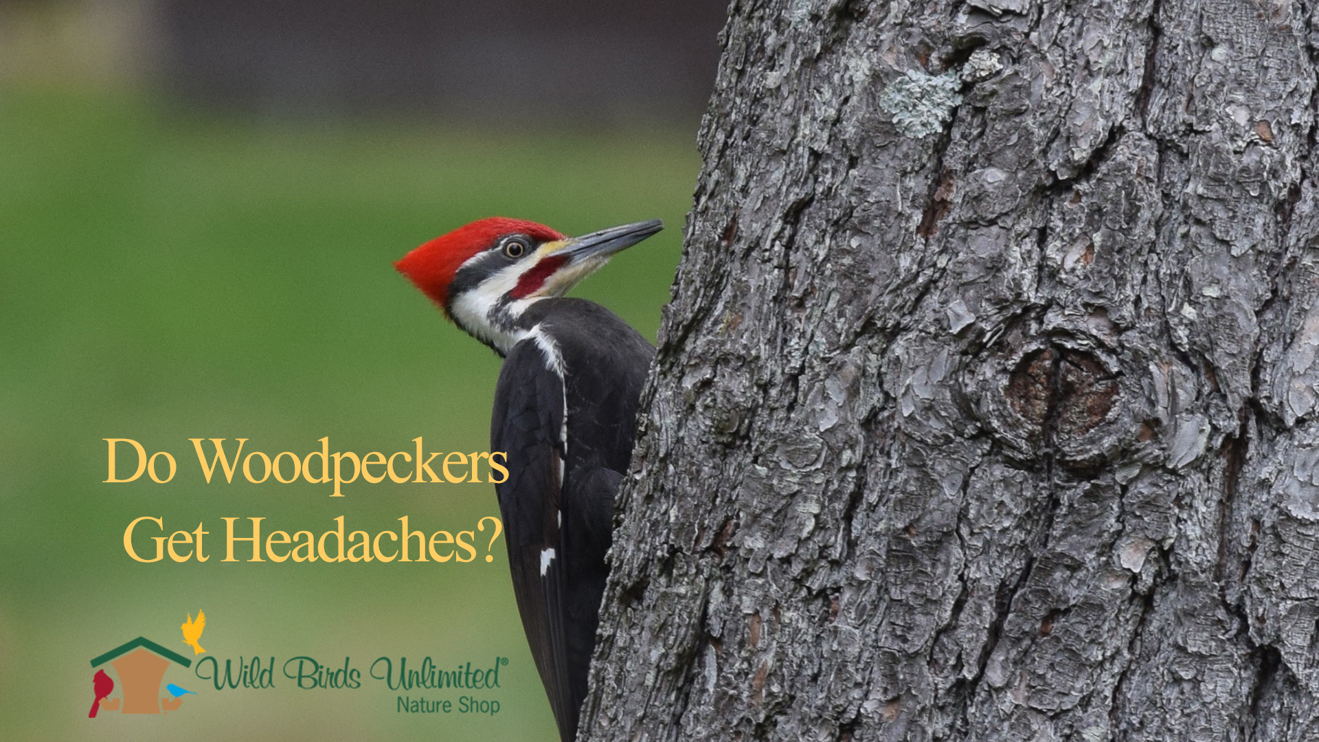 Do Woodpeckers Get Headaches?