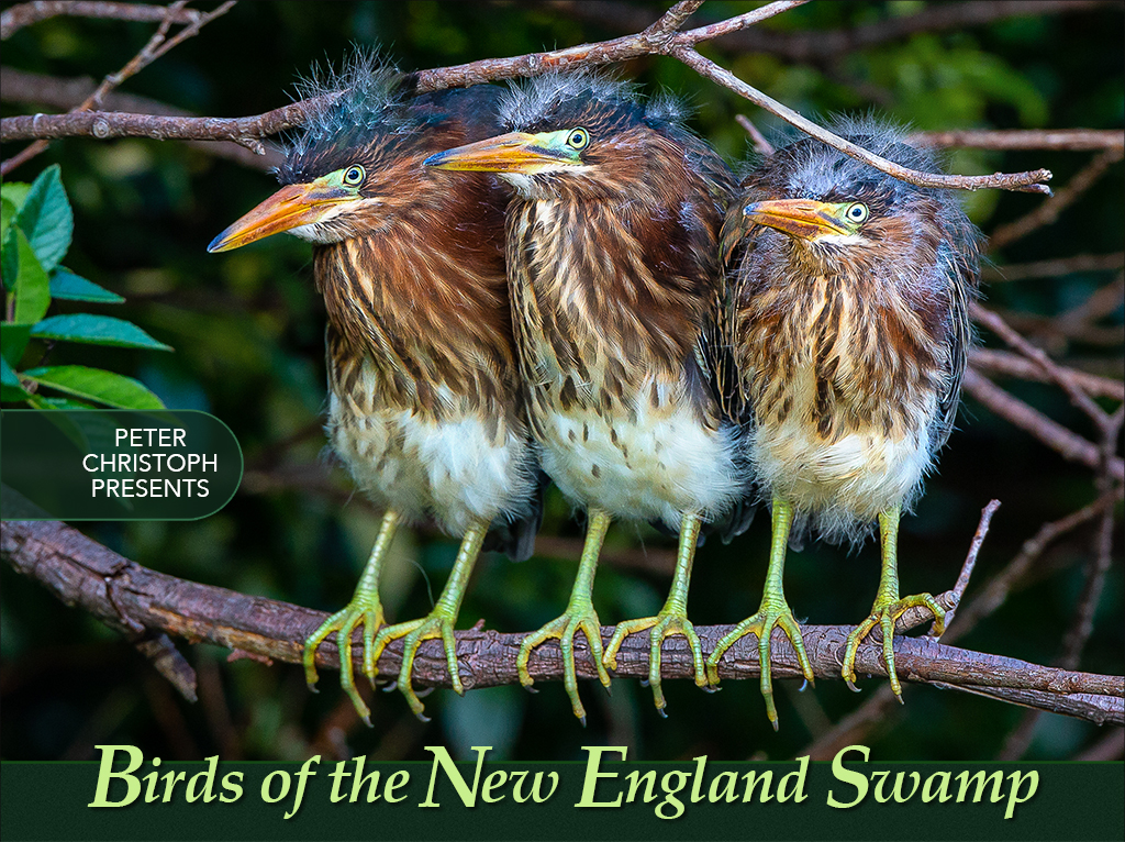 Birds of the New England Swamp